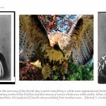 three images, left and right archival photograph of Indian man in traditional dress front view and side view, centre image of a hawk landing